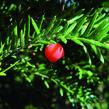 Tis červený - předpěstované bloky - Taxus baccata - předpěstované bloky