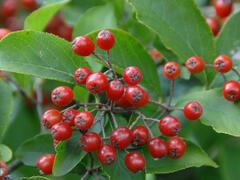 Blýskavka chlupatá - Photinia villosa