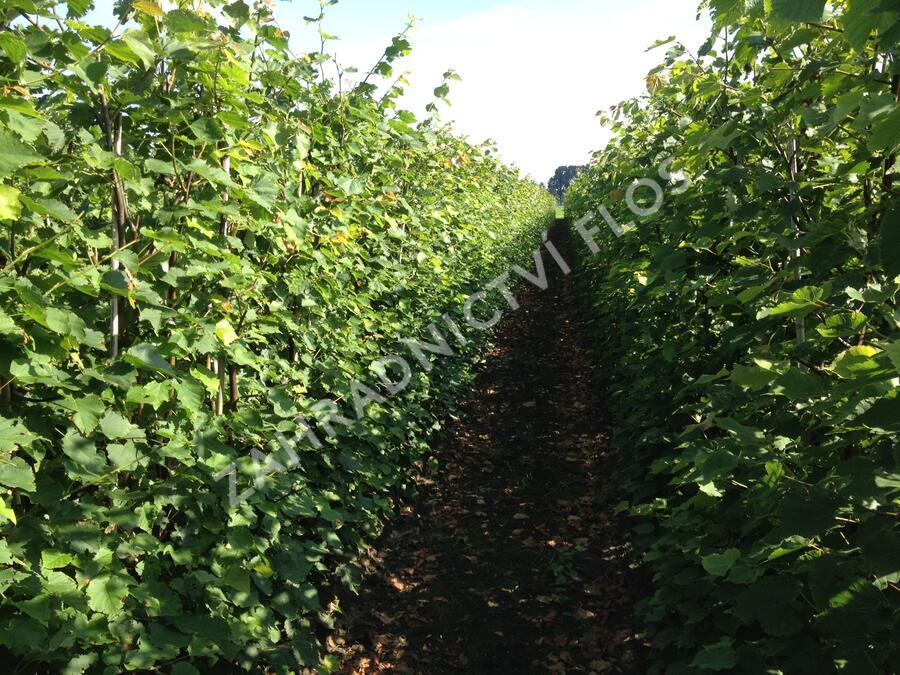 Lípa srdčitá - předpěstovaný živý plot - Tilia cordata - předpěstovaný živý plot