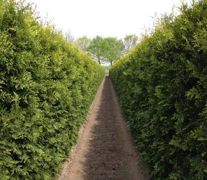 Zerav západní 'Brabant' - předpěstovaný živý plot - Thuja occidentalis 'Brabant' - předpěstovaný živý plot