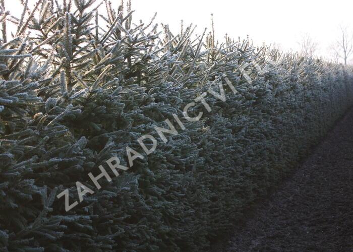 Smrk ztepilý - předpěstovaný živý plot - Picea abies - předpěstovaný živý plot