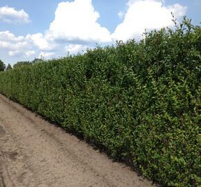 Ptačí zob vejčitolistý - předpěstovaný živý plot - Ligustrum ovalifolium - předpěstovaný živý plot
