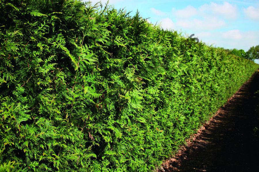 Zerav řasnatý 'Excelsa' - předpěstovaný živý plot - Thuja plicata 'Excelsa' - předpěstovaný živý plot