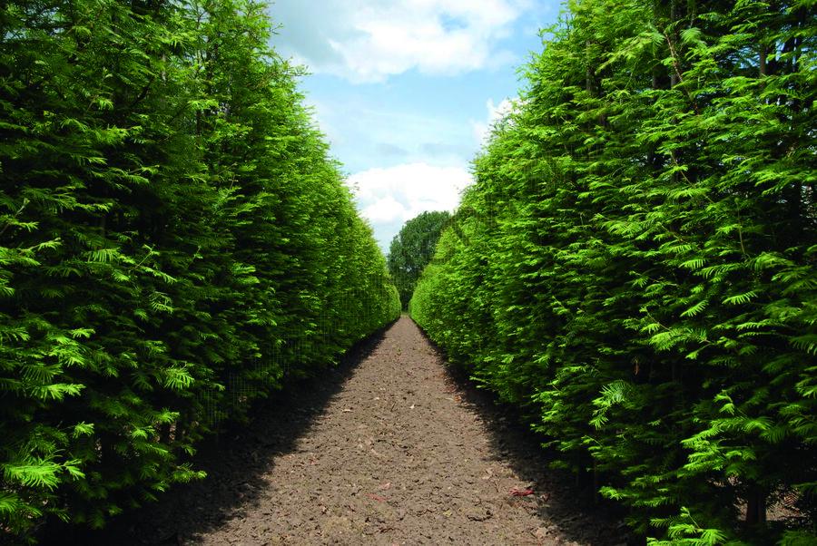 Metasekvoje tisovcovitá - předpěstovaný živý plot - Metasequoia glyptostroboides - předpěstovaný živý plot