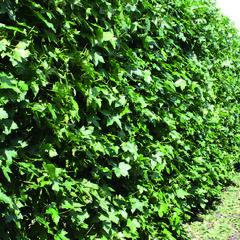 Ambroň západní - předpěstovaný živý plot - Liquidambar styraciflua - předpěstovaný živý plot