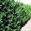 Cesmína 'Blue Maid' - předpěstovaný živý plot - Ilex meserveae 'Blue Maid' - předpěstovaný živý plot