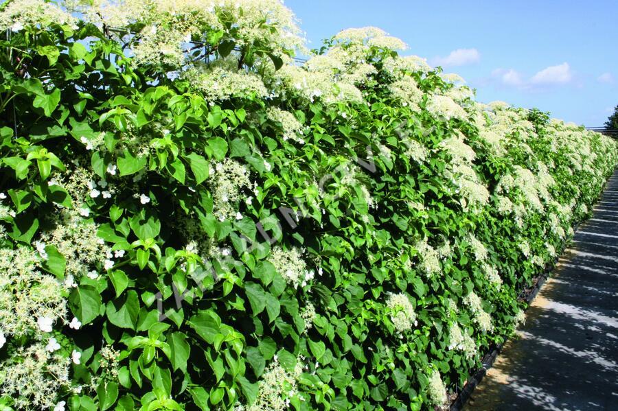 Hortenzie řapíkatá - předpěstovaný živý plot - Hydrangea petiolaris - předpěstovaný živý plot