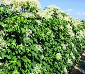 Hortenzie řapíkatá - předpěstovaný živý plot - Hydrangea anomala subsp. petiolaris - předpěstovaný živý plot