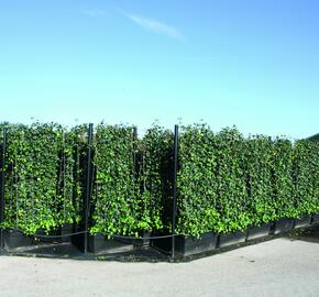 Břečťan popínavý 'Hibernica' - předpěstovaný živý plot - Hedera helix 'Hibernica' - předpěstovaný živý plot