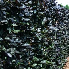 Buk lesní 'Atropunicea' - předpěstovaný živý plot - Fagus sylvatica 'Atropunicea' - předpěstovaný živý plot