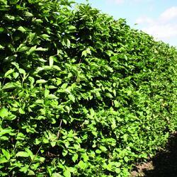 Dřín obecný - předpěstovaný živý plot - Cornus mas - předpěstovaný živý plot