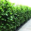 Aktinidie lahodná, kiwi - samosprašná 'Jenny' - předpěstovaný živý plot - Actinidia deliciosa 'Jenny' - předpěstovaný živý plot