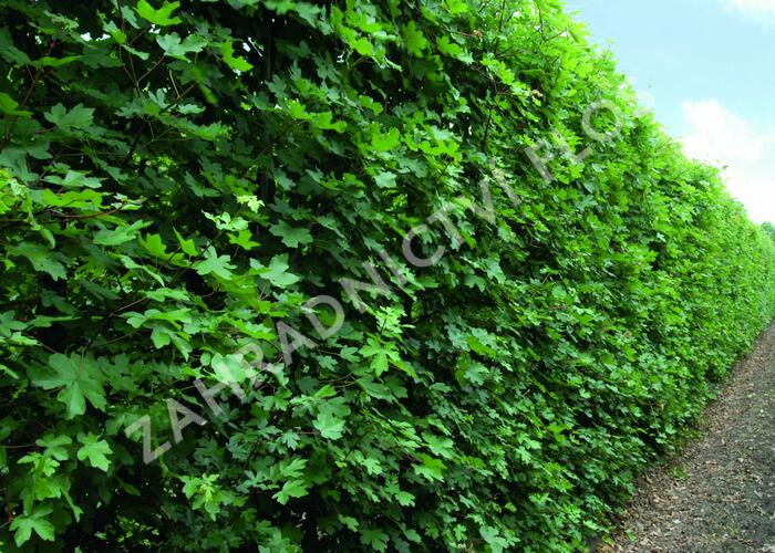 Javor babyka - předpěstovaný živý plot - Acer campestre - předpěstovaný živý plot