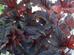 Tavola kalinolistá 'Midnight' - Physocarpus opulifolius 'Midnight'