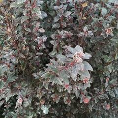 Tavola kalinolistá 'Little Joker' - Physocarpus opulifolius 'Little Joker'