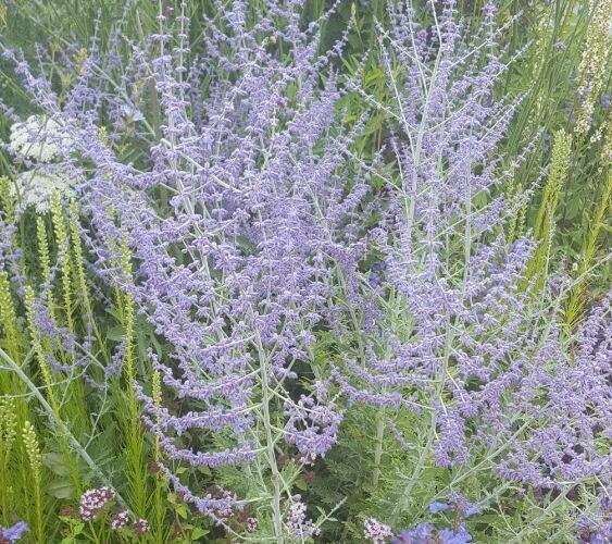 Perovskie lebedolistá 'Blue Spritzer' - Perovskia atriplicifolia 'Blue Spritzer'