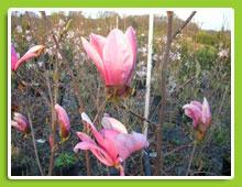 Šácholan liliokvětý 'Heaven Scent' - Magnolia liliiflora 'Heaven Scent'