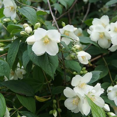 Pustoryl 'Bouquet Blanc' - Philadelphus 'Bouquet Blanc'