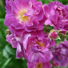 Růže pnoucí 'Veilchenblau' - Rosa PN 'Veilchenblau'