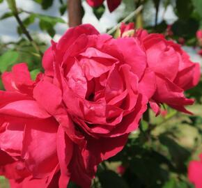 Růže pnoucí Kordes 'Paul's Scarlet Climber' - Rosa PN 'Paul's Scarlet Climber'