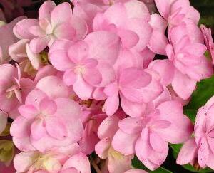 Hortenzie velkolistá 'You & Me Romance' - Hydrangea macrophylla 'You & Me Romance'