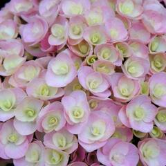 Hortenzie velkolistá 'You & Me Love' - Hydrangea macrophylla 'You & Me Love'