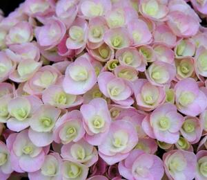 Hortenzie velkolistá 'You & Me Love' - Hydrangea macrophylla 'You & Me Love'