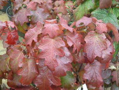Hortenzie dubolistá 'Burgundy' - Hydrangea quercifolia 'Burgundy'
