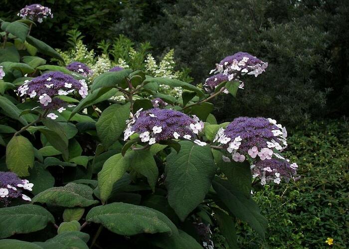 Hortenzie Sangentova - Hydrangea aspera ssp. sargentiana