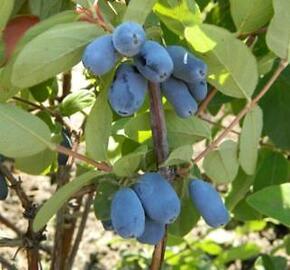 Zimolez modrý 'Duet' - Lonicera caerulea v.kamtschatica 'Duet'