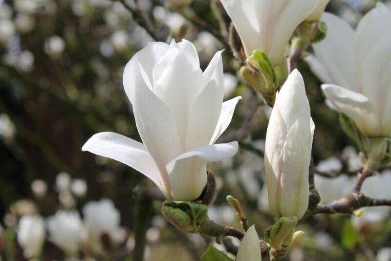 Šácholan Soulangeanův 'Alba Superba' - Magnolia soulangeana 'Alba Superba'