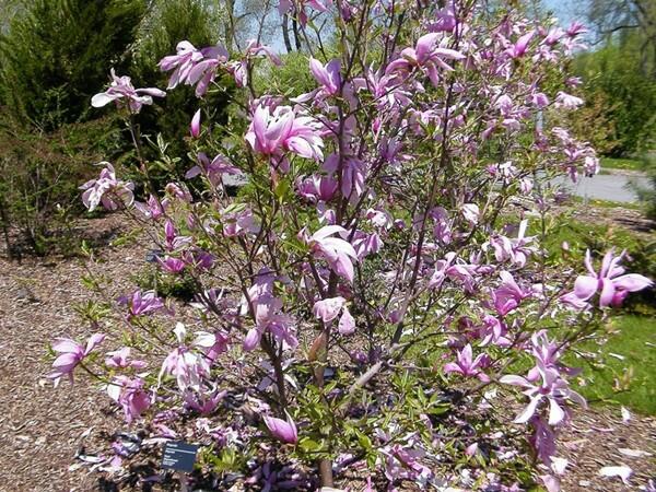 Šácholan liliokvětý 'Rickii' - Magnolia 'Rickii'