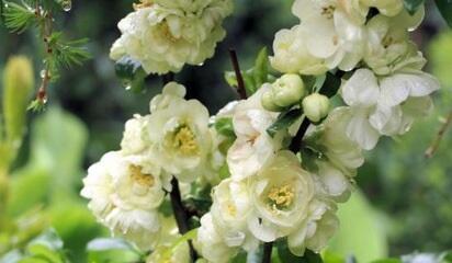 Kdoulovec lahvicovitý 'Yukigoten' - Chaenomeles speciosa 'Yukigoten'
