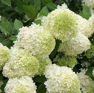 Hortenzie latnatá 'Polar Bear' - Hydrangea paniculata 'Polar Bear'