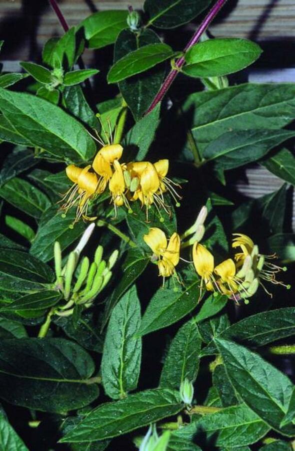 Zimolez zašpičatělý - Lonicera acuminata