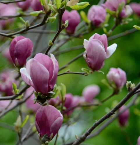 Šácholan Soulangeanův 'Rustica Rubra' - Magnolia soulangeana 'Rustica Rubra'