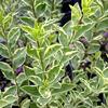 Ptačí zob vejčitolistý 'Argenteum' - Ligustrum ovalifolium 'Argenteum'
