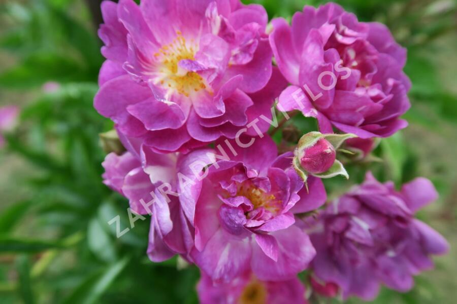 Růže pnoucí mix - Rosa PN mix
