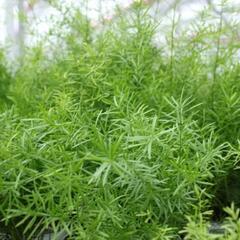 Chřest hustokvětý Sprengeri - Asparagus densiflorus 'Sprengeri'