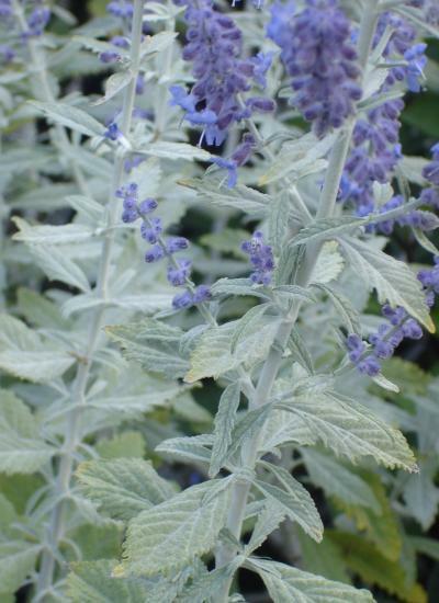 Perovskie lebedolistá 'Silvery Blue' - Perovskia atriplicifolia 'Silvery Blue'
