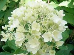 Hortenzie latnatá 'Bombshell' - Hydrangea paniculata 'Bombshell'