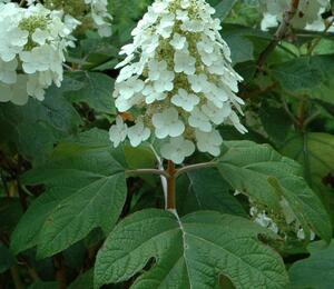 Hortenzie dubolistá 'Alice' - Hydrangea quercifolia 'Alice'