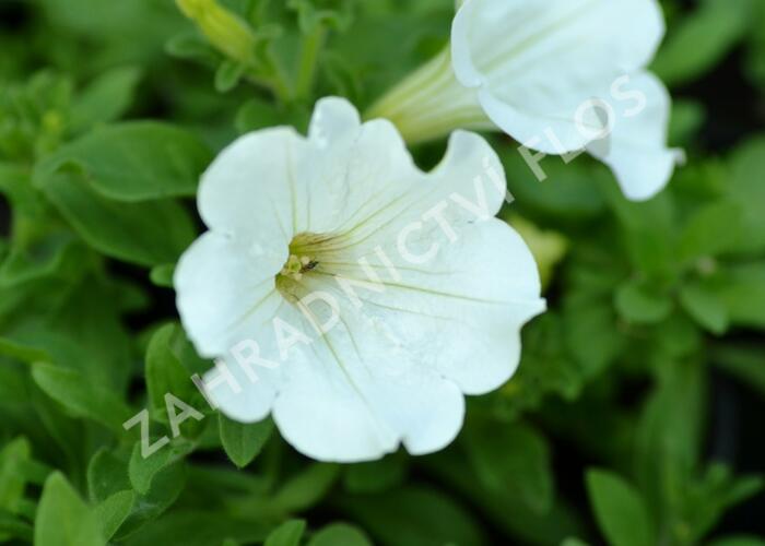 Petúnie 'White' - Petunia Surfinia 'White'