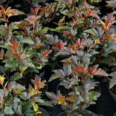 Tavola kalinolistá 'Schuch' - Physocarpus opulifolius 'Schuch'