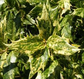 Vonokvětka různolistá 'Goshiki' - Osmanthus heterophyllus 'Goshiki'