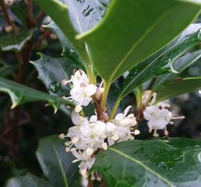 Vonokvětka různolistá 'Gulftide' - Osmanthus heterophyllus 'Gulftide'