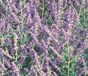 Perovskie lebedolistá 'Mini Blue' - Perovskia atriplicifolia 'Mini Blue'