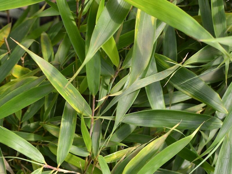 Bambus 'Campbell' - Fargesia robusta 'Campbell'