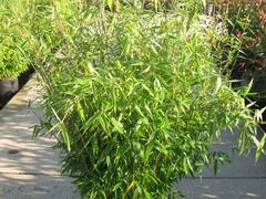 Bambus - Fargesia murieliae