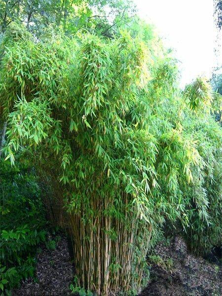 Bambus 'Super Jumbo' - Fargesia murieliae 'Super Jumbo'